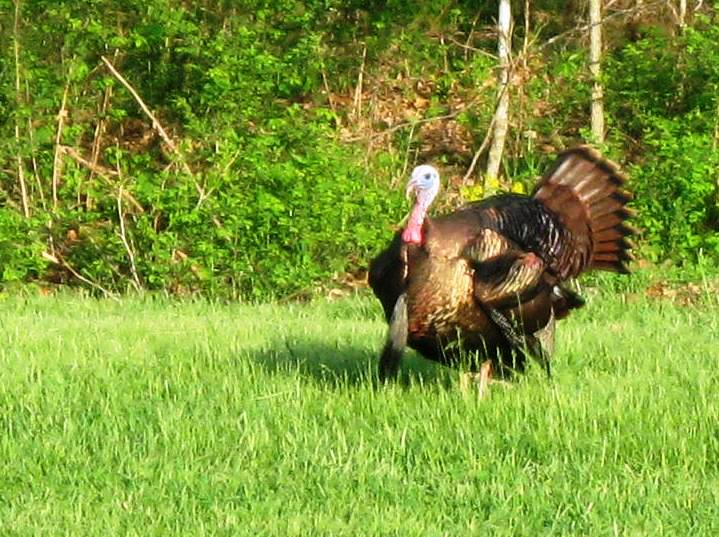 John's Missouri hunting lease land boasts turkey like this big tom.